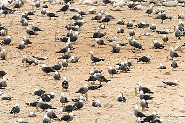 Heermann's Gull (Larus heermanni) on their breeding grounds on Isla Rasa in the middle Gulf of California (Sea of Cortez), Mexico