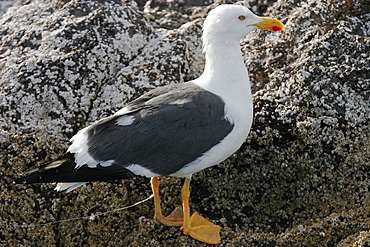 Yellow-footed Gull (Larus livens) with a fishing hook and line embedded in its leg in the Gulf of California (Sea of Cortez), Mexico. This species is enedemic to the Gulf of California.