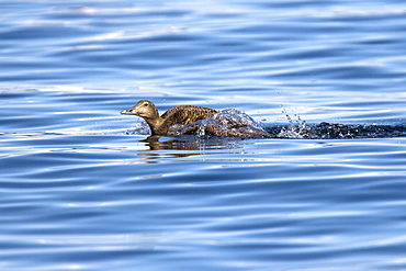 Adult female eider duck (Somateria mollissima) in breeding plumage in the Svalbard Archipelago in the Barents Sea, Norway. Note the fishing hook in this animals beak.