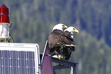 Adult bald eagle pair (Haliaeetus leucocephalus) on a channel marker just outside Petersburg, Southeast Alaska, USA.