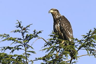 Juvenile bald eagle (Haliaeetus leucocephalus) in tree just outside Petersburg, Southeast Alaska, USA.