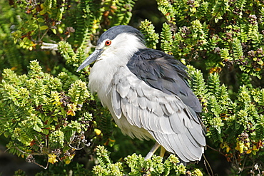 Adult Black-crowned Night-heron (Nycticorax falklandicus) on Carcass Island in the Falkland Islands, south Atlantic Ocean.