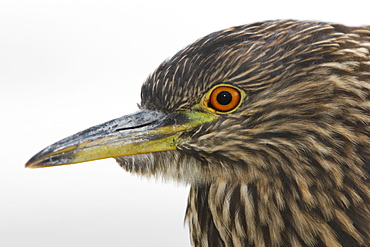 Juvenile Black-crowned Night-heron (Nycticorax falklandicus) on Carcass Island in the Falkland Islands, south Atlantic Ocean.