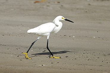 Adult Snowy Egret (Egretta thula) foraging at low tide on Isla Magdalena, Baja, Mexico. Note the characteristic golden feet and black legs, the field characteristics of this species.