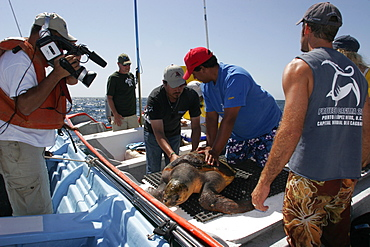 Turtle researchers from the NGO Pro Caguama study and capture the critically endangered Loggerhead Turtle (Caretta caretta) from the town of Puerto Lopez Mateos