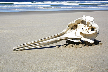 Long-beaked Common Dolphin (Delphinus capensis) skull found on the beach at Isla Magdalena, Baja, California Sur. Pacific Ocean. Possible by-catch in purse-seiner?