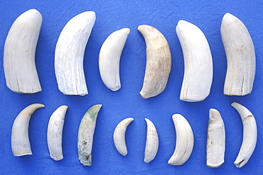 Assorted Sperm Whale (Physeter macrocephalus) teeth from lower jaws of beached Sperm Whales in the mid-riff region of the Gulf of California (Sea of Cortez), Mexico.