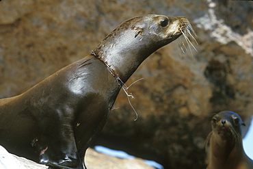 """California Sea Lion (Zalophus californianus) with deadly """"necklace"""" of gill net around its neck in the Gulf of California (Sea of Cortez), Mexico."""