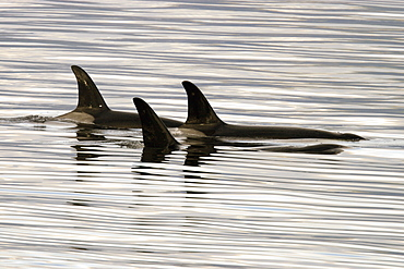 Orca (Orcinus orca) pod surfacing calm waters in Chatham Strait, southeast Alaska, USA.