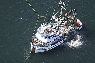 Aerial view of the Alaskan purse-seiner fishery for wild salmon off Point Augustus, Chichagof Island, Southeast Alaska, USA. Note how full the net is of wild salmon as the net is retrieved onboard.