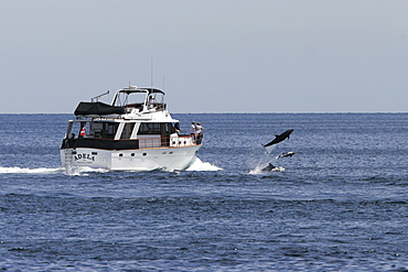 Bottlenose Dolphins (Tursiops truncatus) bow riding a pleasure yacht off Los Islotes in the lower Gulf of California (Sea of Cortez), Mexico.