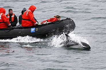 Adult Peale's Dolphin (Lagenorhynchus australis) bow-riding in the Falkland Islands, South Atlantic Ocean.