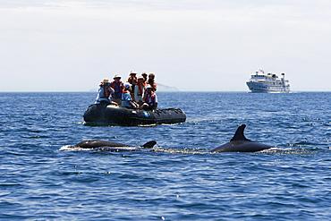 False-killer whales (Pseudorca crassidens) surfacing off Isla San Esteban in the midriff region of the Gulf of California (Sea of Cortez), Mexico