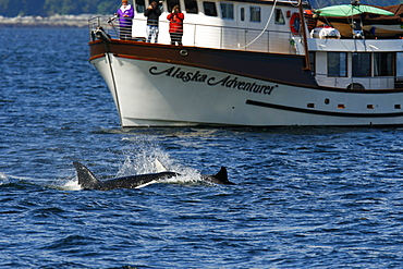 """Whalewatchers aboard the """"Alaska Adventurer"""" with a pod of 5 Orcas (Orcinus orca) encountered off Gardner Point on the south end of Admiralty Island, Southeast Alaska"""