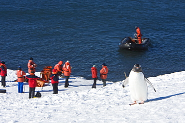 A lone gentoo penguin overlooking the crew of the Lindblad Expedition ship National Geographic Endeavour at work in Antarctica.