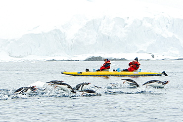 Adult gentoo penguins (Pygoscelis papua) porpoising amongst kayakers near Cuverville Island at the northern end of the Errera Channel in Antarctica. Southern Ocean