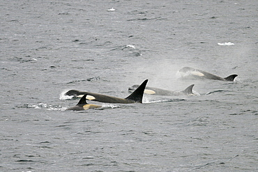 """A possible new species of Orca (Killer Whale) called """"Type B""""  Orca (with a proposed new scientific name of Orcinus nanus) traveling in the Lemaire Strait, Antarctica"""