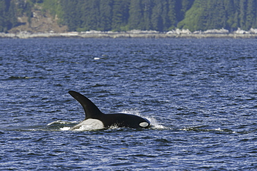 Adult bull surfacing from a pod of 5 Orcas (Orcinus orca) encountered off Gardner Point on the south end of Admiralty Island, Southeast Alaska