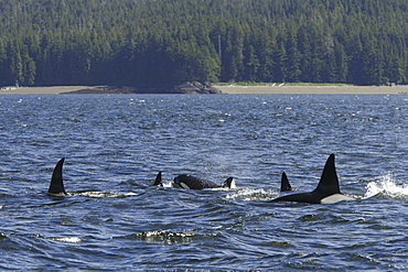 A pod of 5 Orcas (Orcinus orca) encountered off Gardner Point on the south end of Admiralty Island, Southeast Alaska