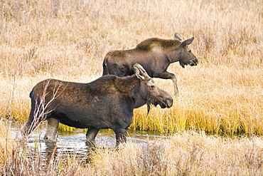Cow and calf moose (Alces alces shirasi) feeding near the Gros Ventre river just outside of Grand Teton National Park, Wyoming, USA. The moose is actually the largest member of the deer family.