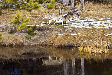 Adult coyote (Canis latrans) searching for prey in tall grasses in Yellowstone National Park, Wyoming, USA.