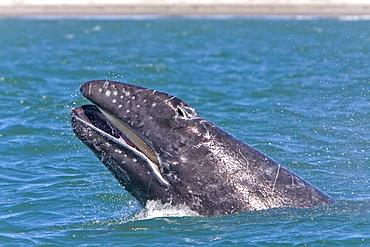 California Gray Whale calf (Eschrichtius robustus) head-lunging in Magdalena Bay, Baja California Sur, Mexico