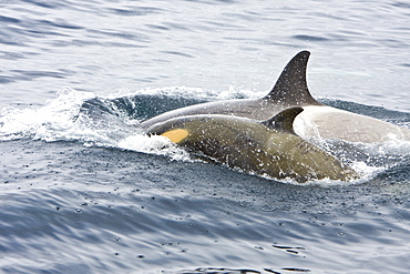 """A small pod of """"Type B"""" Orca (Orcinus orca) traveling in Gerlache Strait on the western side of the Antarctic Peninsula, Antarctica"""