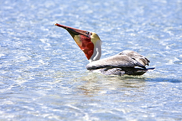 Adult brown pelican (Pelecanus occidentalis) in the lower Gulf of California (Sea of Cortez), Mexico. Note the yellowish head, red gular pouch, and white neck of the adult.