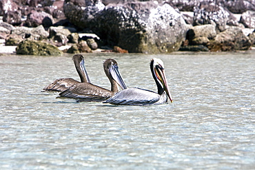 Two juvenile brown pelicans (Pelecanus occidentalis) behind an adult in the lower Gulf of California (Sea of Cortez), Mexico. Note the uniform drab brown coloration of the juvenile plumage.