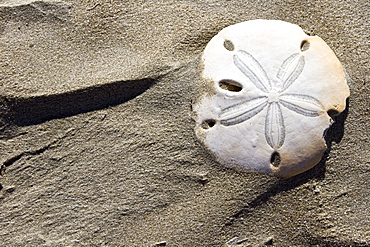 A bleached white sand dollar and patterns in the sand dunes of Isla Magdalena on the Pacific side of the Baja Peninsula, Baja California Sur, Mexico.
