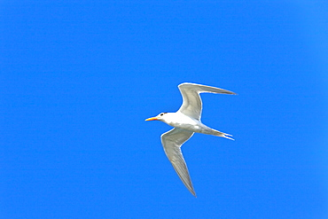 Adult royal tern (Sterna maxima) on the wing in Magdalena Bay on the Pacific side of the Baja Peninsula, Baja California Sur, Mexico.