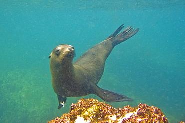 California Sea Lion (Zalophus californianus) underwater at Los Islotes, Gulf of California (Sea of Cortez), Baja California Sur, Mexico