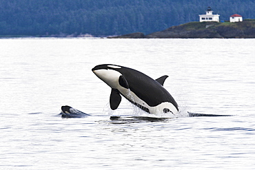 An adult bulll Orca (Orcinus orca) breaching as a very young calf head lunges in front of him in Chatham Strait, Alaska, USA
