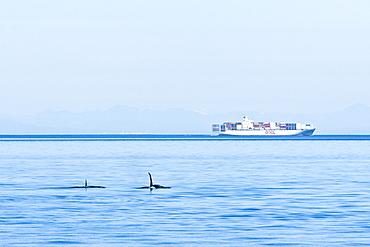An Orca pod (Orcinus orca) encountered near Waldron Island in the San Juan Island group of Washington State, USA