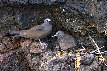Adult brown noddy (Anous stolidus) pair nesting on cliff face of Champion Island in the Galapagos Island Group. Champion Island is a nesting and breeding area for brown noddies, Pacific Ocean.