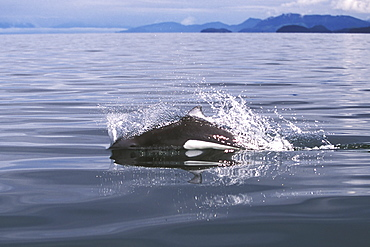 """Adult Dall's Porpoise (Phocoenoides dalli) surfacing with characteristic """"rooster tail"""" splash in Icy Strait, Southeast Alaska, USA. Pacific Ocean. (Restricted Resolution - pls contact us)"""