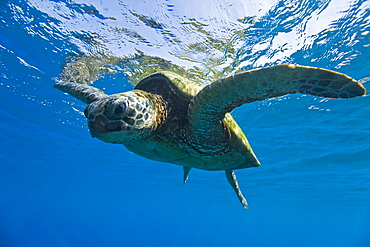 Adult green sea turtle (Chelonia mydas) in the protected marine sanctuary at Honolua Bay on the northwest side of the island of Maui, Hawaii, USA