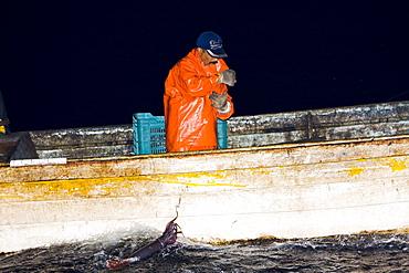 Night fishery for Humbolt Squid (Dosidicus gigas) in the Gulf of California (Sea of Cortez) waters just outside Santa Rosalia, Baja California Sur, Mexico