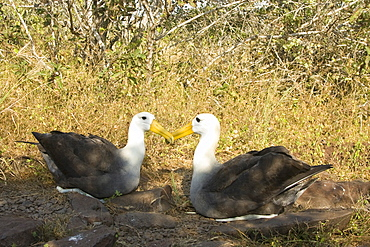 Adult waved albatross (Diomedea irrorata) at breeding colony on Espanola Island in the Galapagos Island Archipelago, Ecuador
