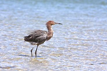 Adult reddish egret (Egretta rufescens) hunting for small fish in the shallow waters of Puerto Don Juan in the upper Gulf of California (Sea of Cortez), Baja California Norte, Mexcio.