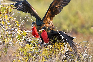 Male great frigate bird (Fregata minor) displaying to each other on nesting and breeding site on North Seymour Island in the Galapagos Island Group, Ecuador. Pacific Ocean