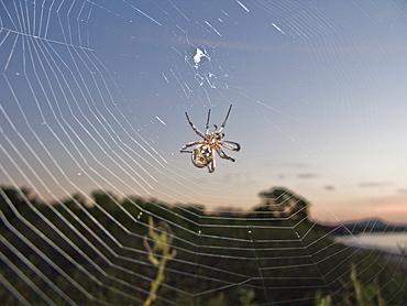 Spider suspended in its web from the Galapagos Islands archipeligo, Ecuador. Pacific Ocean.