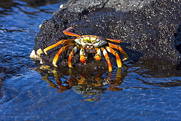 A gravid (with eggs) female Sally lightfoot crab (Grapsus grapsus) in the litoral of the Galapagos Island Archipeligo, Ecuador, Pacific Ocean