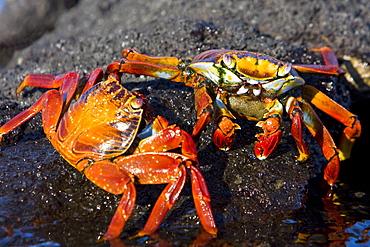 Sally lightfoot crab (Grapsus grapsus) in the litoral of the Galapagos Island Archipeligo, Ecuador. Pacific Ocean
