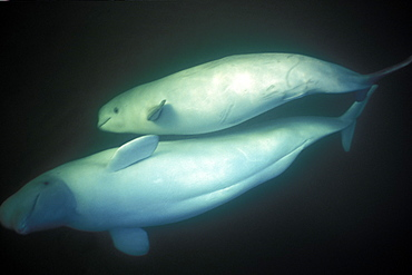 Curious Beluga mother and calf (Delphinapterus leucas) approach underwater (blowing bubbles) in the Churchill River, Hudson Bay, Manitoba, Canada.