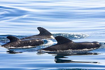 A pod of 40 to 50 short-finned pilot whales (Globicephala macrorhynchus), Gulf of California (Sea of Cortez), Baja California Norte, Mexico