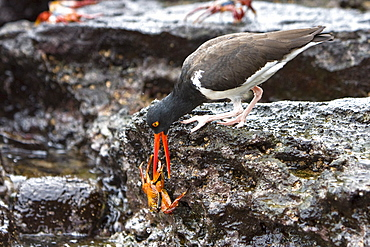 An adult American oystercatcher (Haematopus ostralegus) hunting for Sally lightfoot (Grapsus grapsus) crabs, Bartolome Island, Galapagos Island Group, Ecuador