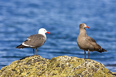 Adult (L) and juvenile (R) Heermann's gull (Larus heermanni) on their breeding grounds on Isla Rasa in the middle Gulf of California (Sea of Cortez), Mexico