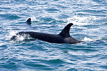 A pod of at least 8 Orcas (Orcinus orca) encountered off George Island near Inian Pass and followed until Lemesieur Island in Icy Strait, Southeast Alaska
