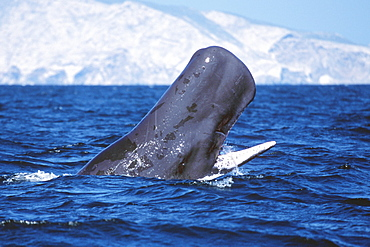 Sperm whale head-lunging with jaws open.  Midriff region of the Gulf of California, Mexico.S(AW)S(Mexico (Pacific))S(sperm whale)S(lunging)